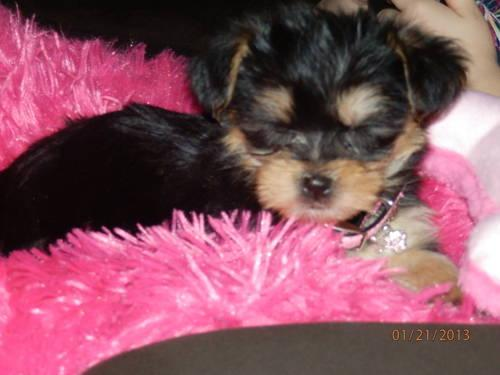 ADORABLE Morkie 9-weeks old