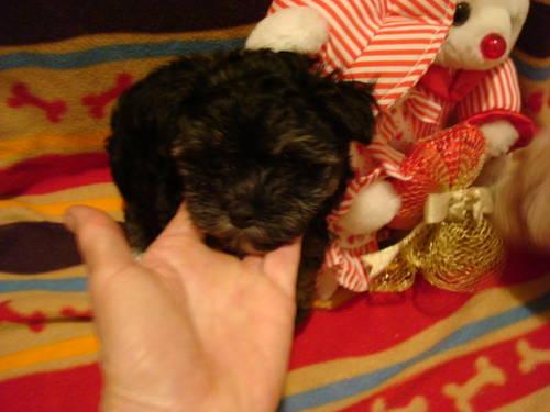 Cute Havanese Pups - 9 Weeks Old