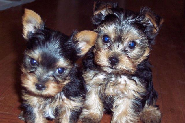 Yorkshire Terrier Puppies - 9 Weeks Old