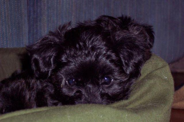 Yorkiepoo Puppy - 9 Weeks Old