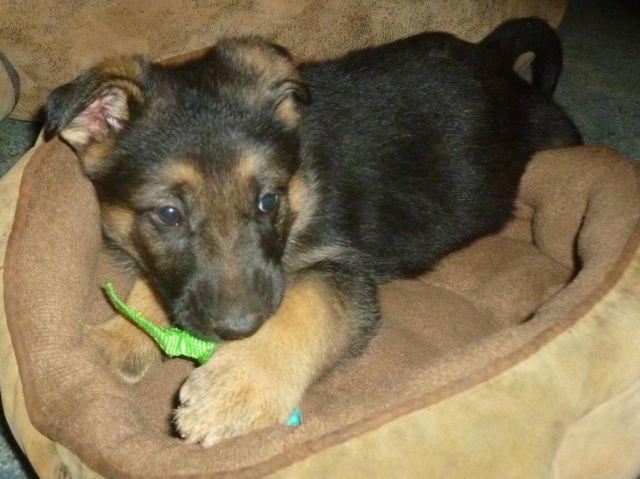 AKC German Shepherd pupppies- 9 weeks old