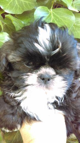 Akc Shih Tzu puppies, 9 weeks old