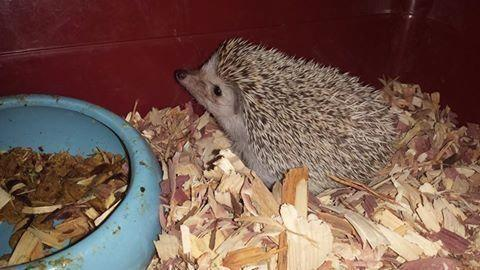 Hedgehog needs a home