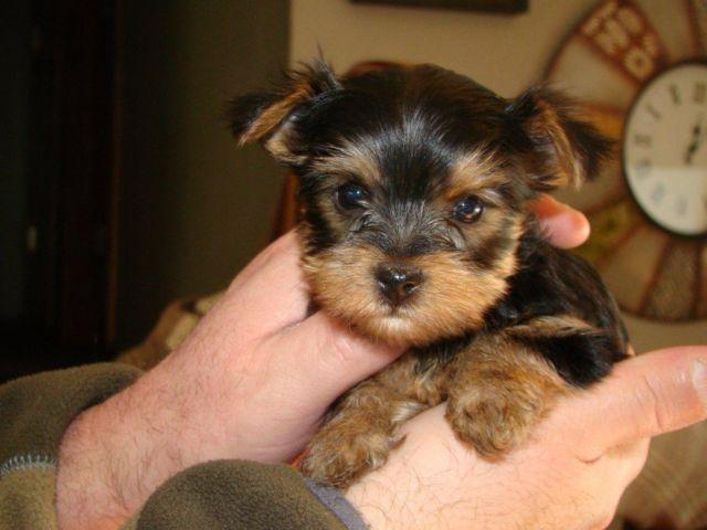york shire terrier for sale pure breed A.K.C Registered 8 weeks old p
