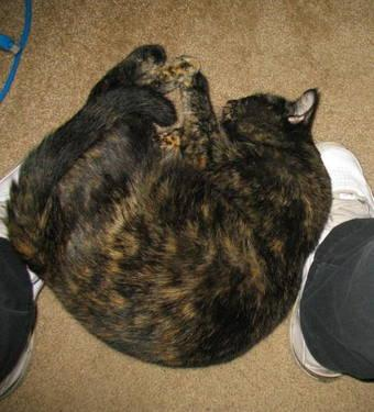 Bombay - Vanessa - Large - Adult - Female - Cat