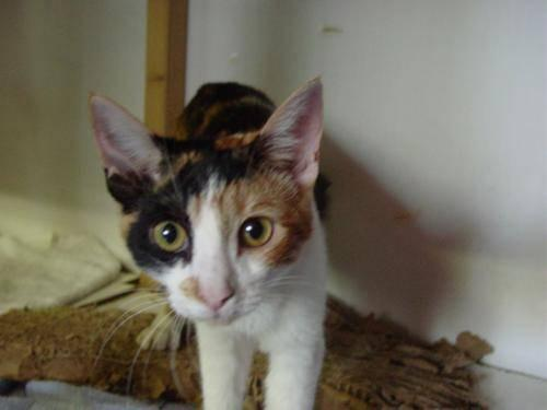 Calico - Tess - Medium - Adult - Female - Cat