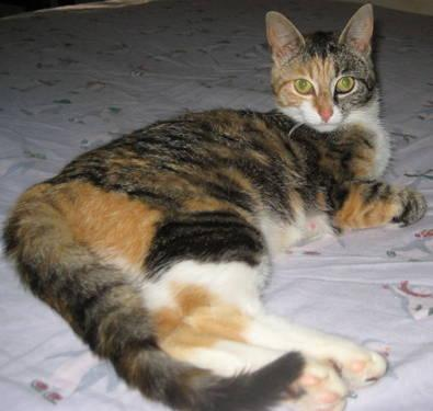 Calico - Gimble - Medium - Adult - Female - Cat
