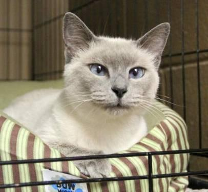 Siamese - Bisou - Medium - Adult - Female - Cat