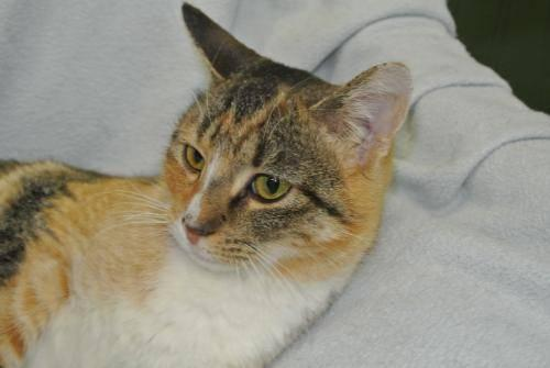 Calico - Julie - Small - Adult - Female - Cat