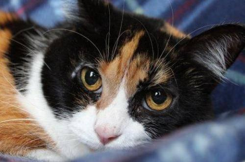 Calico - Elsa - Medium - Adult - Female - Cat
