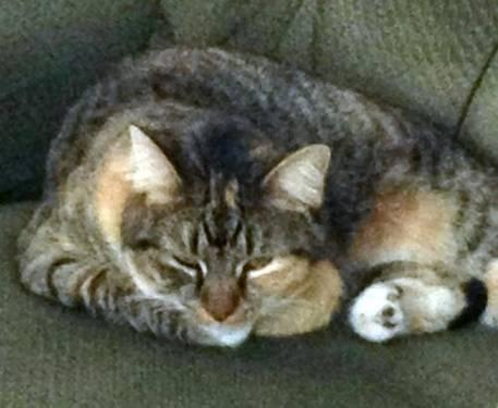Calico - Bailey - Medium - Adult - Female - Cat