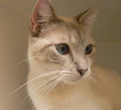 Snowshoe - Maeve - Medium - Adult - Female - Cat