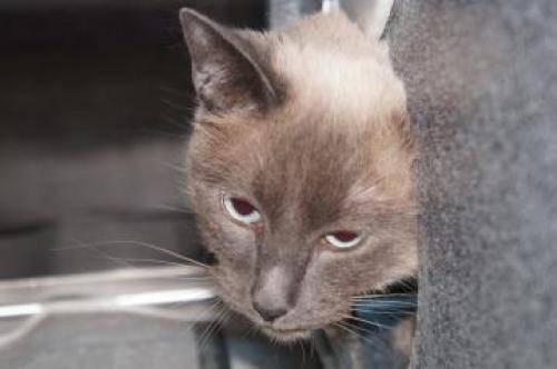 Tonkinese - Ginger - Medium - Adult - Female - Cat