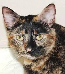Calico - Marie - Medium - Adult - Female - Cat