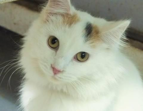 Calico - Rachel - Small - Adult - Female - Cat