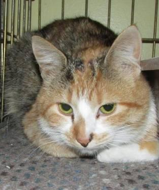 Calico - Tidbit - Small - Adult - Female - Cat