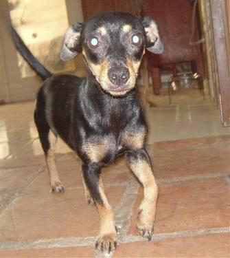Dachshund - Lily - Small - Adult - Female - Dog