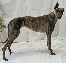 Greyhound - Angel - Medium - Adult - Female - Dog