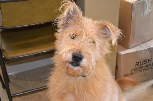 Terrier - Gabby - Medium - Adult - Female - Dog