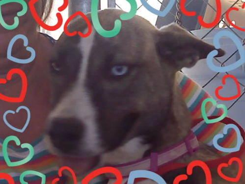 Basenji - Senay - Medium - Adult - Female - Dog