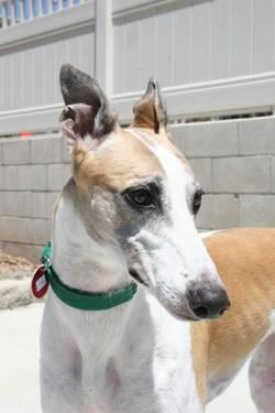 Greyhound - Avalon - Large - Adult - Female - Dog
