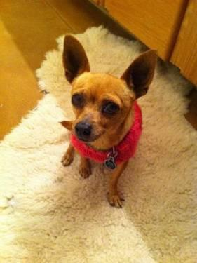 Chihuahua - Nugget - Small - Adult - Female - Dog