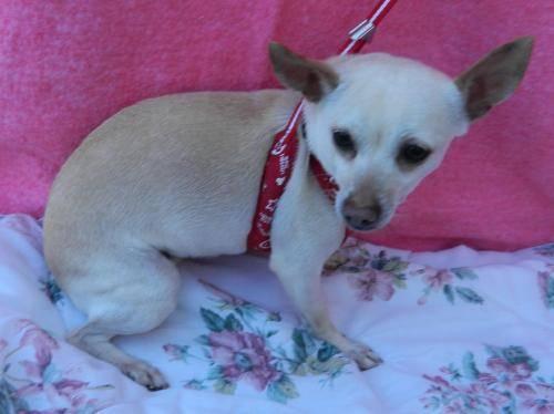 Terrier - Lola - Medium - Adult - Female - Dog