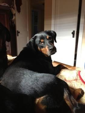 Rottweiler - Xena - Large - Adult - Female - Dog