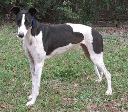 Greyhound - Gina - Large - Adult - Female - Dog