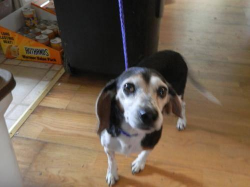Beagle - Munch - Small - Adult - Female - Dog
