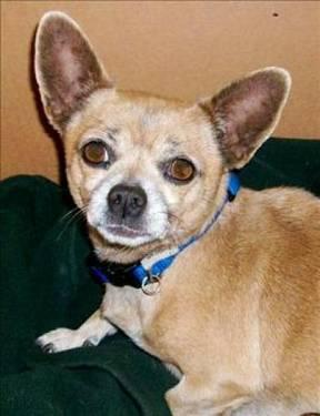 Chihuahua - Scarlet - Medium - Adult - Female - Dog