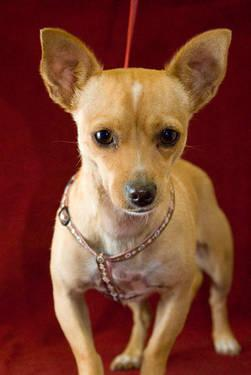 Chihuahua - Milkshake - Small - Adult - Female - Dog