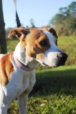 Pointer - Noelle - Medium - Adult - Female - Dog