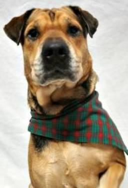 Shepherd - Lucky - Medium - Adult - Female - Dog