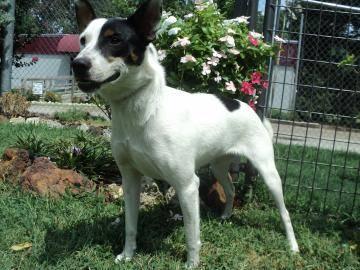 Beagle - Khloe - Medium - Adult - Female - Dog for Sale in