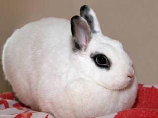 Hotot - Sophia - Small - Adult - Female - Rabbit