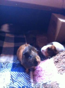 Guinea Pig - Nutmeg - Small - Adult - Female - Small & Furry