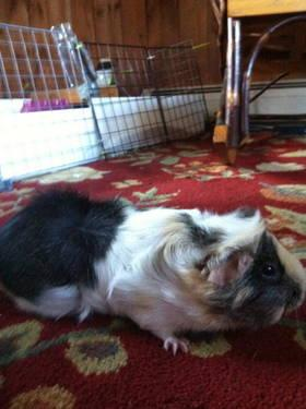 Guinea Pig - Kiwi - Small - Adult - Female - Small & Furry