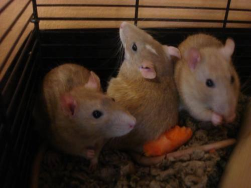 Rat - Female Rats - Small - Adult - Female - Small & Furry