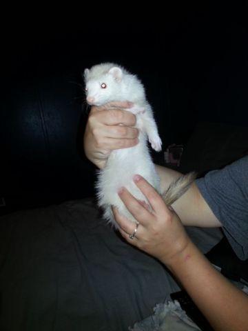 Ferret - Puff & Jackie - Medium - Adult - Female - Small & Furry