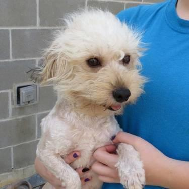 Poodle - 810554-tanner - Small - Adult - Male - Dog