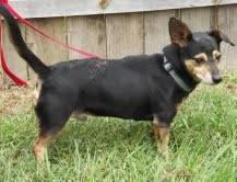 Terrier - Scooter - Small - Adult - Male - Dog