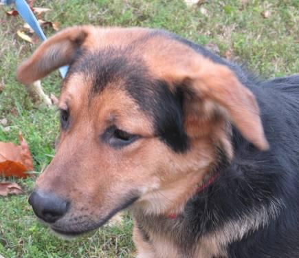 Shepherd - Jolsen - Medium - Adult - Male - Dog