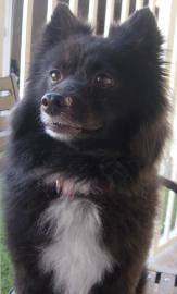 Pomeranian - Diego - Small - Adult - Male - Dog