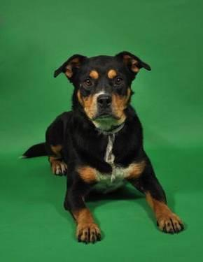 Rottweiler - Elias - Large - Adult - Male - Dog