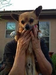 Chihuahua - A3213374 - Small - Adult - Male - Dog