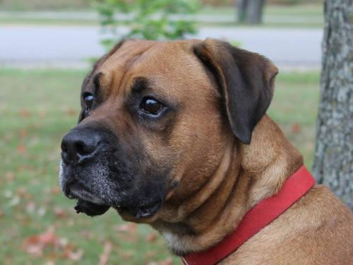 Boxer - Bosco - Large - Adult - Male - Dog
