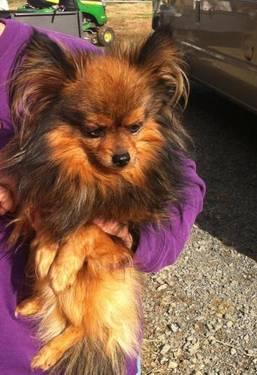 Pomeranian - Timber - Small - Adult - Male - Dog