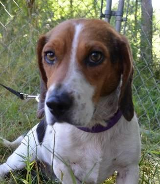 Beagle - Jasper - Small - Adult - Male - Dog