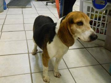 Beagle - Bailey - Medium - Adult - Male - Dog